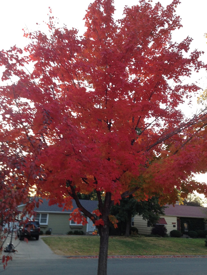 red maple anemia